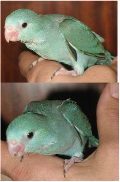 One of my Blue Parrotlet Babies