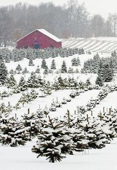 Beautiful Christmas tree farm in the winter