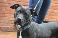 Rumi: Pit Bull Terrier, Dog; Chicago, IL