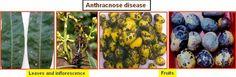 Horticulture :: Fruits:: Mango