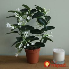 Buy stephanotis Stephanotis floribunda - Deliciously scented flowers : pot - tall: Delivery by Crocus Jasmine Plant Indoor, Indoor Plants, Edible Plants, Outdoor Survival, Summer Flowers, Houseplants, Peonies, Floral Design, Planters