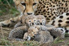 Cheetahcubs-SuziEszterhas