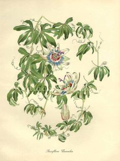 Antique Vintage 1948 Botanical Chromolithograph, Passiflora Coerulea, 1900s art botanical color lithograph