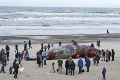 Varias personas observan el cadáver de un cachalote varado en la playa de Henne, en la costa oriental de Dinamarca. Los biólogos se preparan para realizar las autopsias de dos ballenas que quedaron varadas ayer en la playa. EFE - See more at: http://hd.clarin.com/post/76969564304/varias-personas-observan-el-cadaver-de-un#sthash.J2KrBNAy.dpuf