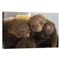"East Urban Home 'Hoffmann'S Two-Toed Sloth Orphaned Babies' Photographic Print on Canvas Size: 12"" H x 18"" W x 1.5"" D"