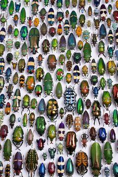 Insectes # Scarabées # Fluorescent