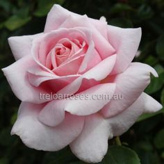 The Children's Rose* :- A fragrant,  healthy bush with old fashioned English style.