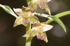 Epipactis sp. (Orchidaceae)