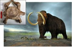 Did Inbreeding Doom the Mammoth? A mammoth's neck vertebra showing the place where a rib was once attached. When we think about the mammoth, we picture the 3-meter-high, 6-ton beast roaming northern Europe in imposing herds, fending off human hunters with their dangerous tusks. We don't imagine genetically deformed creatures stumbling through a doomed landscape, going to desperate lengths to stay alive in a rapidly changing world.