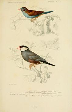 gravures couleur d'oiseaux - Gravure oiseau 0213 pinson vulgaire - fringilla caelebs - passereau - Gravures, illustrations, dessins, images