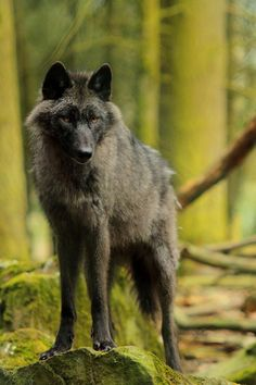 Black wolf(Canis lupus) in old growth forest. Photo by Khevel. Wolf Photos, Wolf Pictures, Animal Pictures, Beautiful Creatures, Animals Beautiful, Cute Animals, Wild Animals, Baby Animals, Anime Wolf