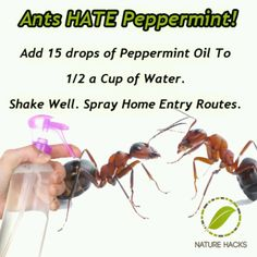 Ants Hate Pepperment ~ Add 15-drops of pepperment oil to 1/2 a cup of water. Shake well then spray entry routes.