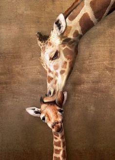 Giraffe Mother's Kiss, 1000-pc Eurographics jigsaw puzzle @ http://www.kickasspuzzles.com/shop-now/challenging/