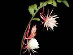 Epiphyllum oxypetalum    Эпифиллум  остролепестный.