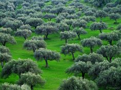 The olive trees in February in Crete. Greek Flowers, Forest Mountain, Different Shades Of Green, Tree Forest, Winter Trees, Olive Tree, Flowering Trees, Olive Oil, Landscape