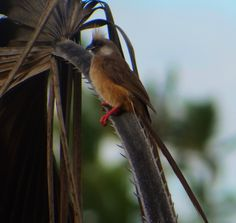 Speckled Mousebirds (Colius striatus) lovethe ilala palm leaves - their tail even looks like one. Bee Eater, Heron, Palm, National Parks, Birds, Leaves, Herons, Bird, Hand Prints