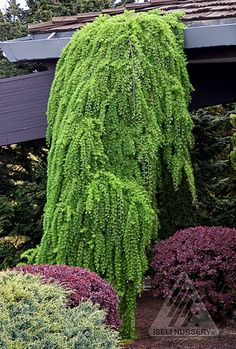 Larix decidua 'Pendula' - a deciduous conifers with bright green foliage in spring and summer.