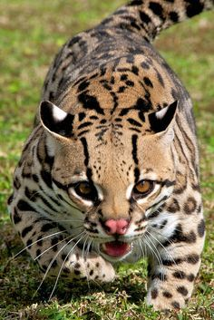 "This neither a cheetah nor a leopard; it is an ocelot - a small ""Big Cat""! Small Wild Cats, Small Cat, Big Cats, Cool Cats, Cats And Kittens, Siamese Cats, Ocelot, Beautiful Cats, Animals Beautiful"