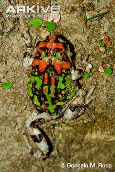 Painted burrowing frog (Scaphiophryne gottlebei)