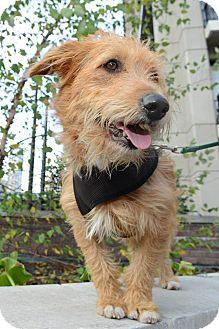 Schnauzer Terrier Mutt Dog Laying — Stock Photo © adogslifephoto ...