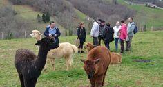 À 700 m d'altitude, au cœur de cet «éco-hameau» , les alpagas comme la famille Baron profitent pleinement de la nature./Photo V. T. Altitude, Baron, Comme, Nature, Animals, Naturaleza, Animales, Animaux, Animal