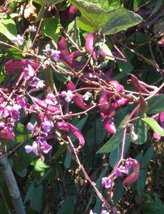 Purple Hyacinth Bean with Flowers and Pods!