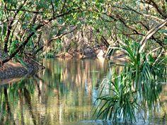 "Katherine River pandanus screw pine (not pandanus ""palm"") in the Northern Territory of Australia Australian Plants, Darwin, Wilderness, Kayaking, Melbourne, Pine, To Go, Journey, Places"