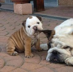 I found these bulldog pictures on the I love bulldogs facebook page. They all made me Laugh!!!!  I can understand the desire to Tug on the soft bulldog ears!!!   English bulldog, funny