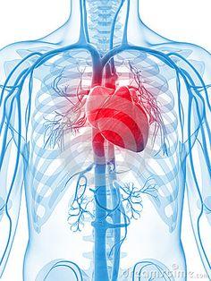 Sistema vascular humano