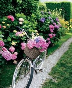 Hydrangeas & bicycle