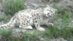 Three snow leopards have been spotted in the Yushu hills in China.