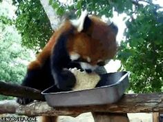This Red Panda is Eating a Sandwich