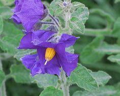 J20151001-0021—Solanum xanti 'Mountain Pride'—RPBG Plant Sale   by John Rusk