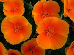 California Poppy - Eschscholzia californica