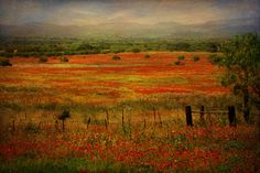 Willow City Loop near Fredericksburg, Texas displays a thick carpet of wildflowers in the Spring!