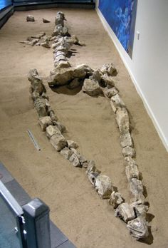 A partial pliosaur skeleton showing the lower  outline of its skull, preceding part of a front limb   and a few of its vertebrae. Specimen on display  at Kronosaurus Korner, Richmond, Queensland.