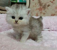 みんなの子猫ブリーダー|ペルシャ(チンチラ) 女の子 チンチラシルバー 2015/10/05生まれ 茨城県 子猫ID:1511-00097 ※ふわふわでほんわりしたお顔です