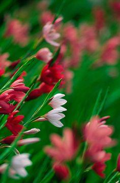 Kaffir Lily Flowers In Bloom Photograph