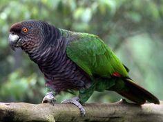 Amazzone imperiale - Imperial Amazon - Amazona imperialis