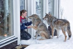 Wolf Lodge, a luxurious resort that's a part of Norway's Polar Park in Narvik, allows guests to mix and mingle with gray wolves that roam freely on their large enclosure.