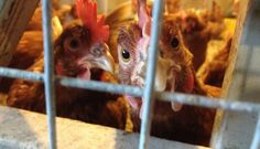 What a Difference a Cage Makes: California's Humane Egg Battle - See more at: http://civileats.com/2014/09/03/what-a-difference-a-cage-makes-the-battle-over-humane-egg-production-in-california-heats-up/#more-20755