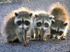 Baby Raccoons. On the way home from on skyline trail sometime in. Feb 2014