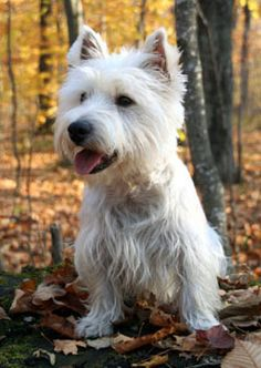 6. West Highland Terrier