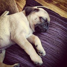 Pug puppy nap
