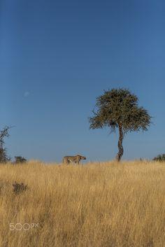 CHEETAH MOON TREE - Cheetah, Mashatu, Botswana.