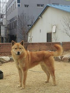 #Jindo dog # http://m.cafe.naver.com/koreareddog/912