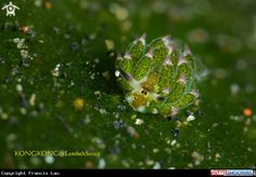 Nudibranch (Costasiella sp.) in Are Prang - Lembeh Strait - Indonesia
