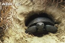 Gopher tortoise by Zig Leszczynski . The head comes out of the carapace and the carapace comes out of the tunnel . Red Footed Tortoise, Baby Tortoise, Tortoise Care, Types Of Turtles, Alligator Snapping Turtle, Eastern Box Turtle, Carapace, Reptiles And Amphibians, Tortoises