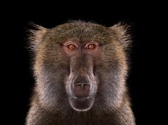 Brad Wilson makes stunning studio portraits that capture the likeness of wild animals in beautiful detail.