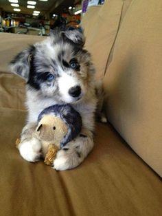 Cute Australian Shepherd great dog   Cute puppy and dog